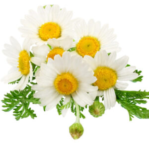 chamomile is best for skin lightening and tightening pores used in serums by bao laboratory