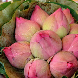 lotus flowers help seal moisture on skin best for dry skin an ingredient in serums by bao laboratory