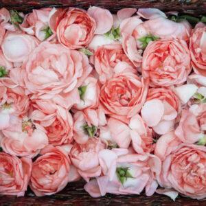 rose petal oil rich in anti aging properties used in serums by bao laboratory